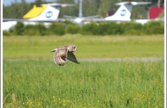 Болотная сова у взлетной полосы