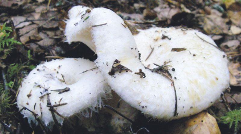 Груздь. Деликатес  грибной засолки