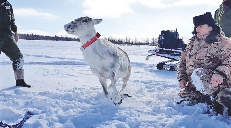 Mondi и WWF России вместе сохраняют дикого северного оленя
